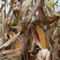 Nos variétés maïs 2021