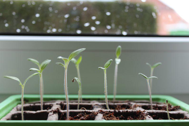 Tout savoir sur le semis de vos tomates en godets